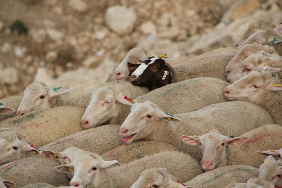 אבות ובנים שומרים על עדרי הצאן