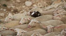 בדואים תקפו רועה וגנבו עדר באזור רימונים