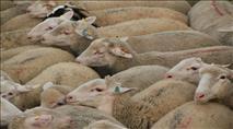 בדואים תקפו רועה צאן יהודי - התושבים ערכו מרדף