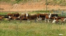 מכה חקלאית: ערבים גנבו 22 עגלים מרפת בית יתיר