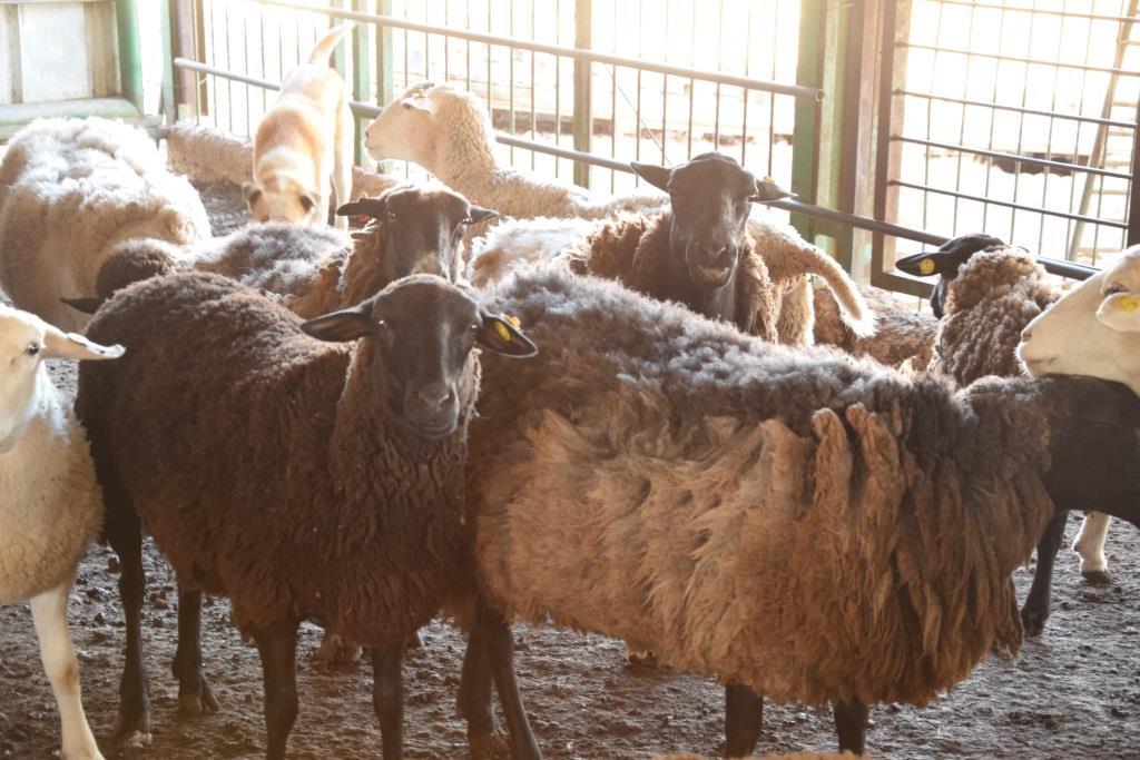 עדר שנגנב  (אברהם שפירא)