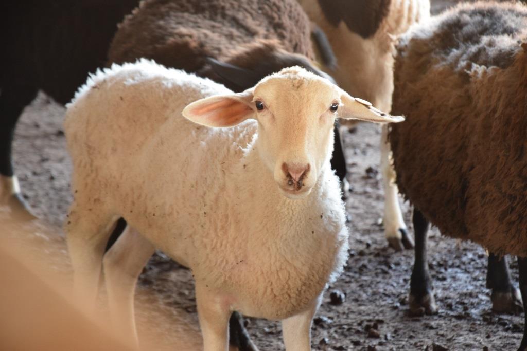 כבשים צילום: אברהם שפירא