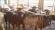 בדואים גנבו עדר מהיישוב כרמל