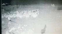 תיעוד: העדר נגנב - התושבים נרתמו למרדף