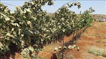 ערבים כרתו כרם ענבים באש קודש