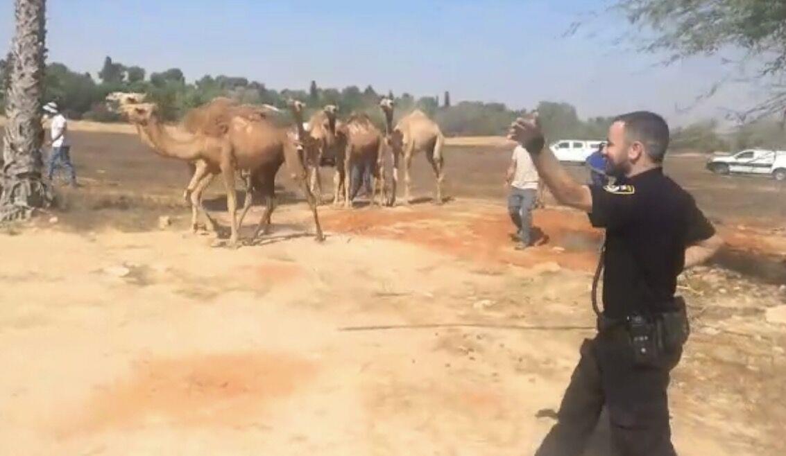 ניסו לגנוב גמלים, זוהו וברחו