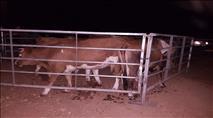 נתפס עדר של ערבי שנכנס לשטחי קבוצת כנרת
