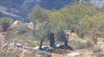 ערבים טוענים כי מוסק זיתים נפצע; שלושה יהודים נעצרו
