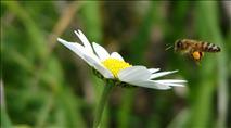 האם גם לדבורים יש העדפה לימין או שמאל?