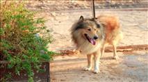 """הרמב""""ם היומי: איך מאכילים כלב בשבת?"""