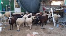 צפו: חולית גנבי בקר ערבים נתפסה