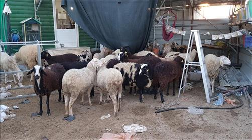 הצאן שנגנב.