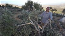 עונת המסיק החלה: 30 עצי זית נכרתו בבנימין