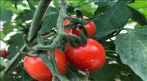 """הראש היהודי: """"עגבניית מיני"""" - הקטנה בעולם"""