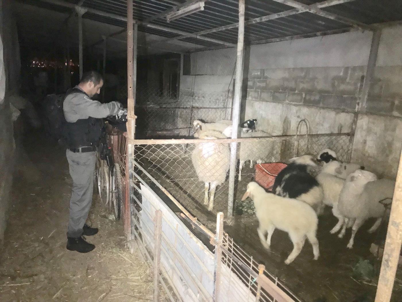 מציאת הכבשים הלילה (דוברות המשטרה)