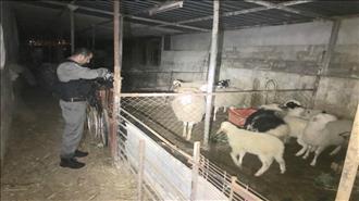 הפשיעה החקלאית: כבשים גנובות אותרו בשני מוקדים