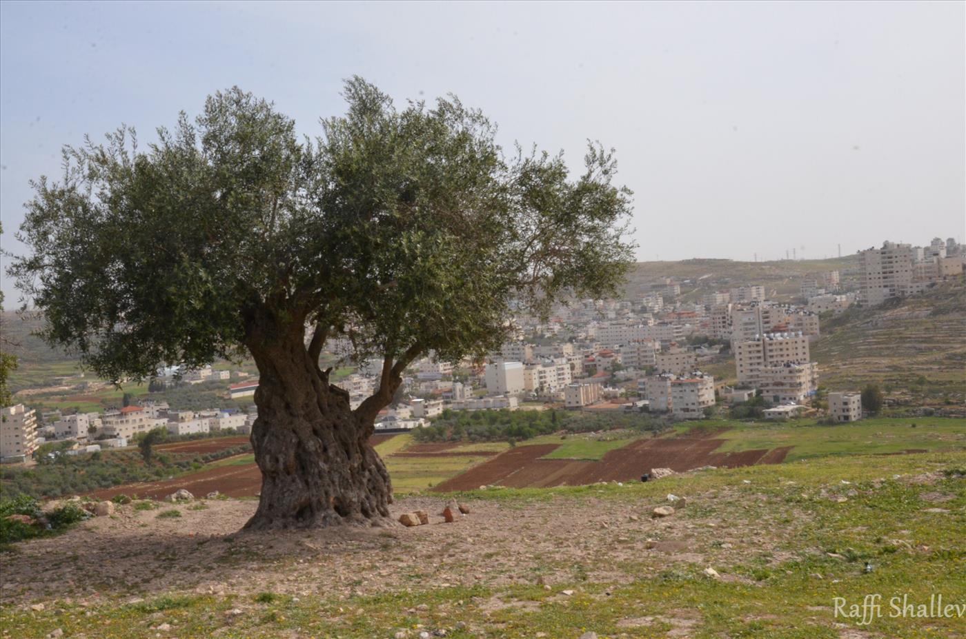 עץ זית עתיק (רפי שלו)