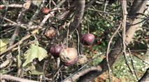 הטרור החקלאי: ערבים הציתו מטעים בכפר עציון