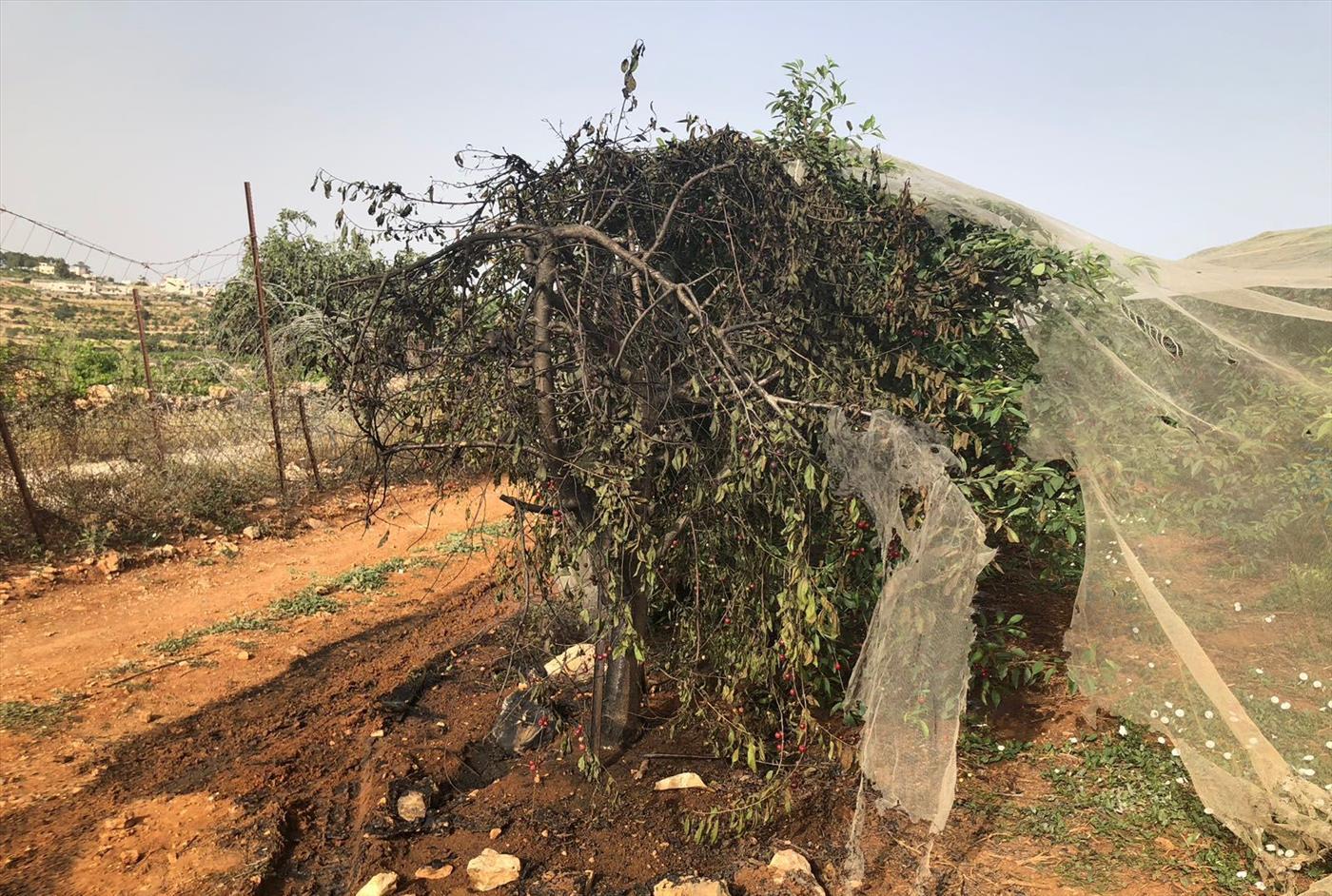 נזק למטע הדובדבנים של כפר עציון. ארכיון (ירון רוזנטל)