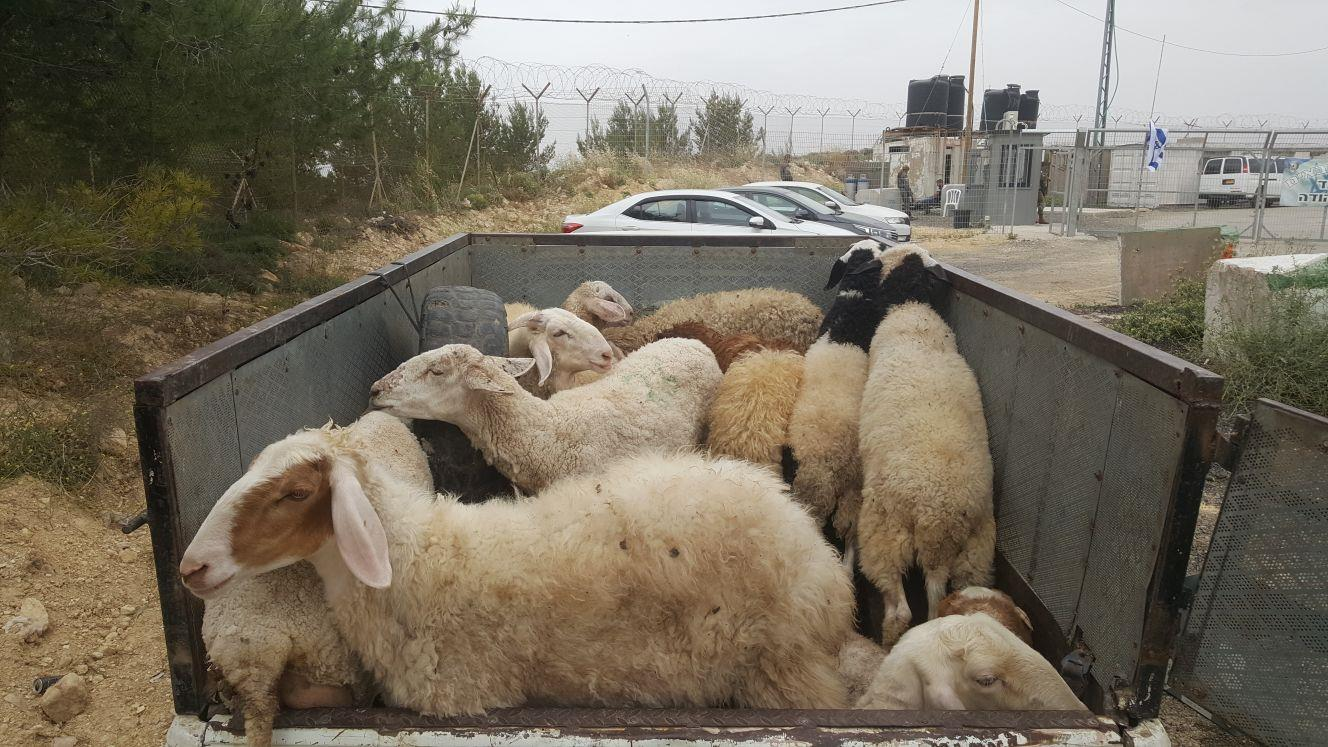 כבשים גנובות. ארכיון (דוברות המשטרה)