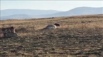 האזהרות התממשו: פרות הבדואים עלו על שדה מוקשים