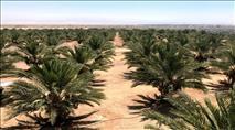 בקעת הירדן: ערבים גנבו תמרים צמוד לבסיס צבאי