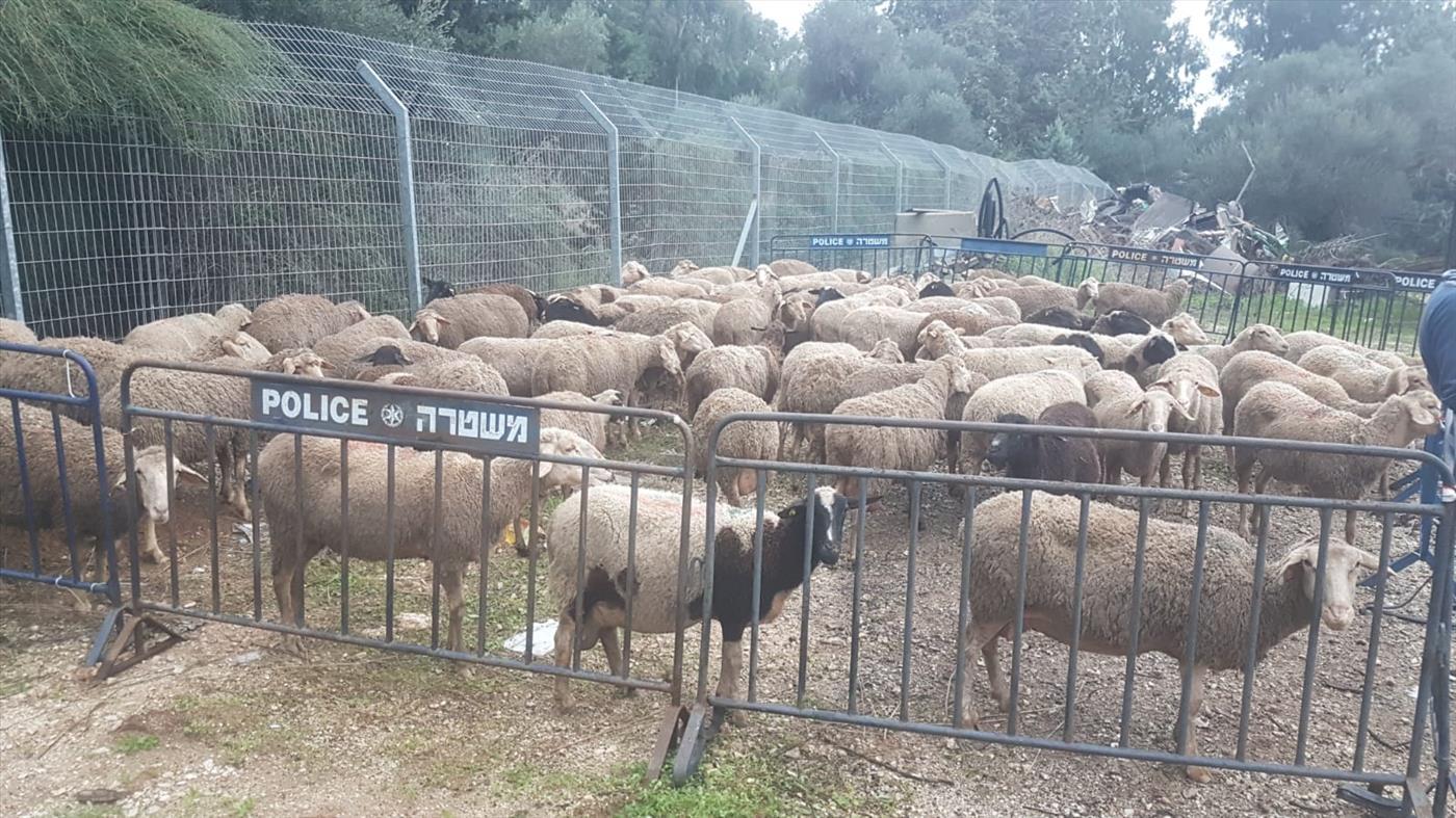 הכבשים שנגנבו מכפר סיטרין (משטרת ישראל)