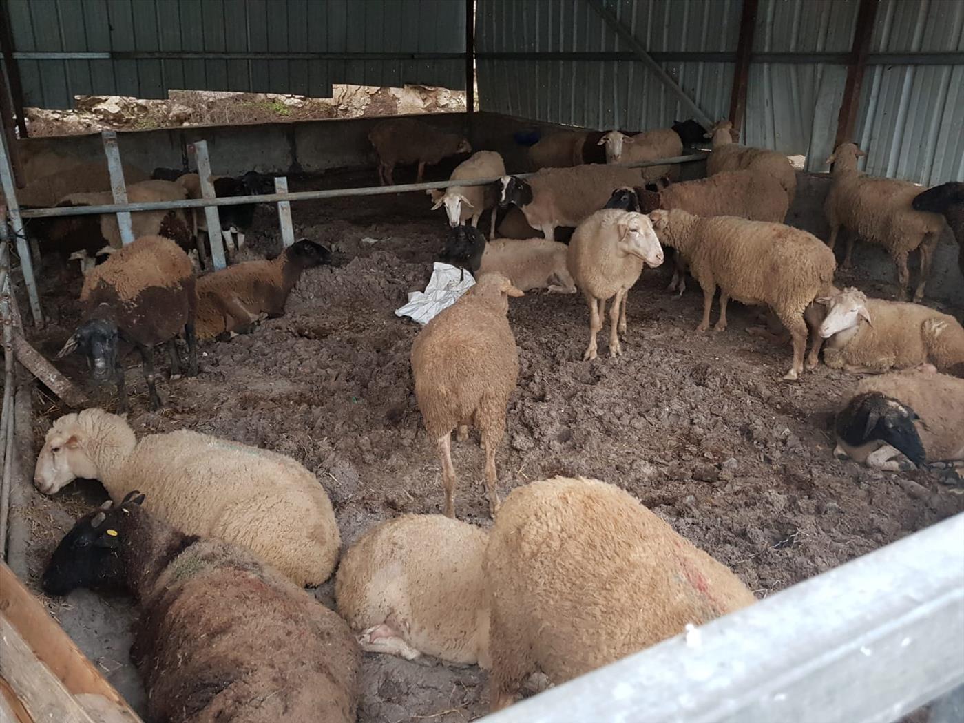 עדר צאן שנגנב. ארכיון  (משטרת ישראל)