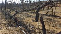 ערבים כרתו עשרות גפנים ודובדבנים בכרמי כפר עציון