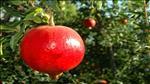 עונת קטיף הרימונים בארץ בעיצומה: היבול - כ- 55,000 טון