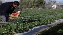 משרד החקלאות מזהיר מפני שיווק תותים מעזה בשוק הישראלי