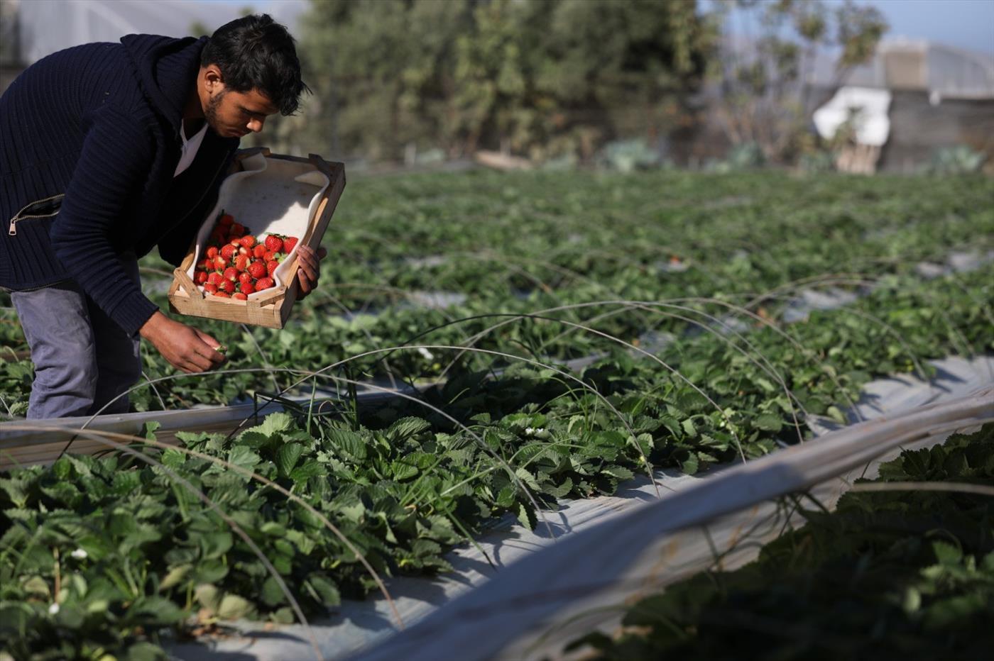 גידול תותים ברצועת עזה (מג'די פתחי, tps)