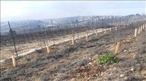טרור חקלאי בגוש עציון: גניבה ונזק בשווי אלפי שקלים