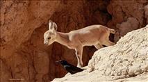 חיות הבר מתקרבות יותר ויותר לאזורים מיושבים