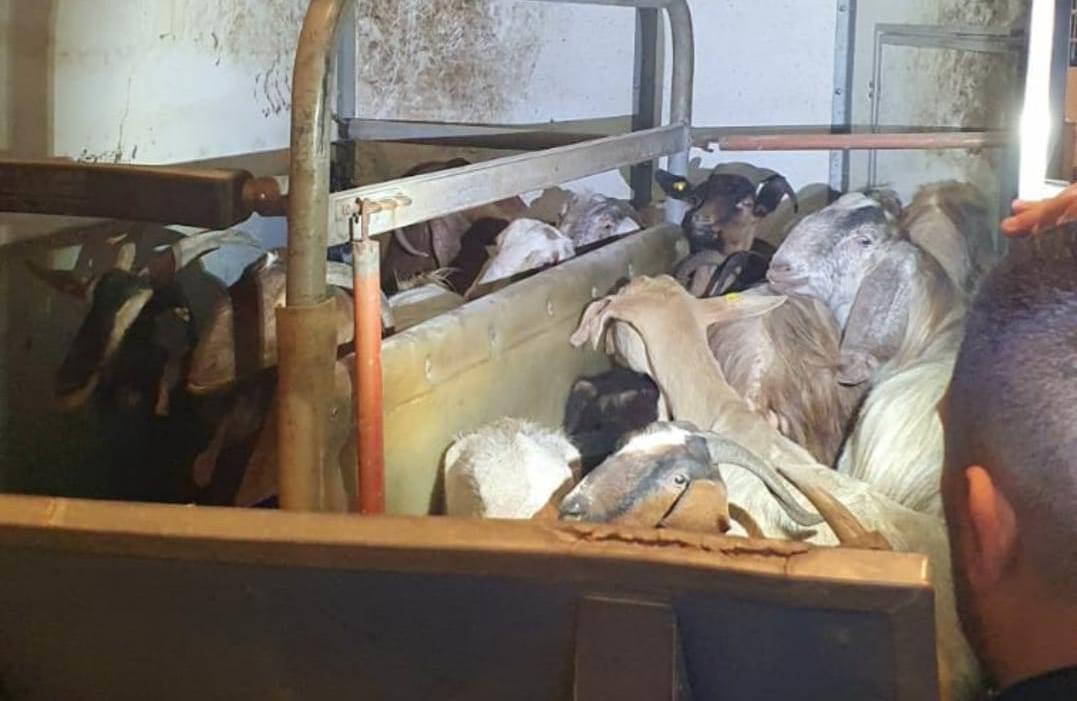 טרור חקלאי וגניבת טלאים - גם בקורונה