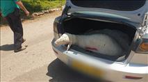 ערבי גנב כבשים מהמעסיק שלו