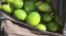 הטרור החקלאי: ערבים גנבו ירקות מהמעסיק שלהם