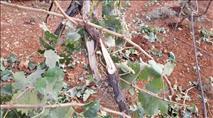 גוש שילה: ערבים הציתו כרם ועקרו עצים