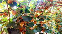 לחיזוק המערכת החיסונית ולקראת החורף - קיווי מלך ויטמין C