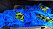 """כ-2 טון זיתים וכ-60 ק""""ג אבוקדו ובננות נגנבו בצפון"""