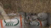 פשיעה חקלאית בצפון: כ-12 טון זיתים נגנבו בגליל
