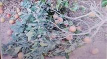 טרור חקלאי: בדואי גנב ממטע ושלף סכין על השומר