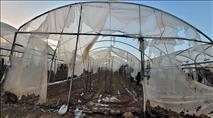 טרור חקלאי בלכיש - חממות פלפל הוצתו במושב שדה משה