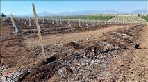 הטרור החקלאי: 74 שתילי מנגו נגנבו בסמוך למושבה מגדל