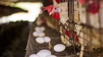 פולמוס התרנגול: מכון התורה והארץ הכשיר את 'תרנגול הבראקל'