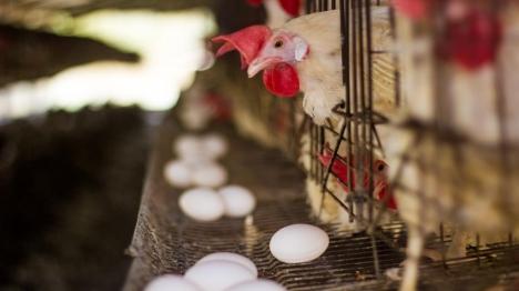 תרנגול צילום: יהודה פרל
