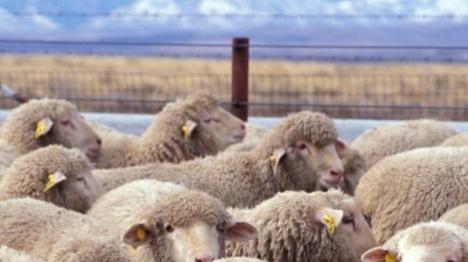 תחילת הרמאדן: עונת גניבת הצאן