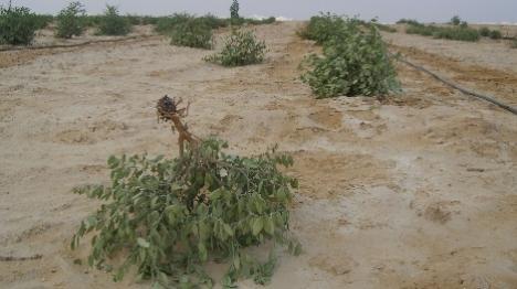 בדואים כרתו עשרות עצים בנגב