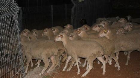 לאור יום: כבשים נגנבו במרעה