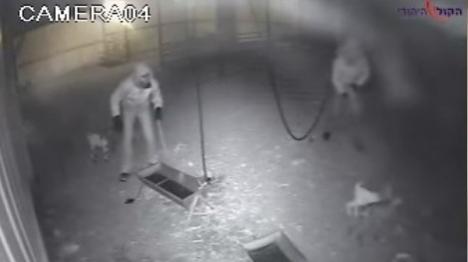צפו: כך נגנב העדר ממושב באזור אשדוד